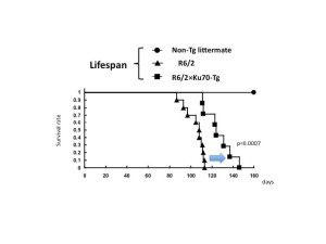 Lifespan elongation by Ku70. Double transgenic mice have a 30% longer lifespan.14