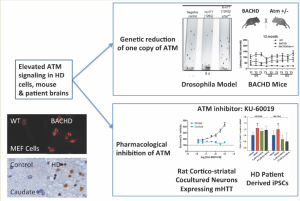 Elevated ATM signaling in HD cells, mouse & patient brains