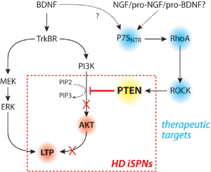 Figure: Diagram of TrkBR and p75NTR signaling in HD. TrkBR activation of PI3K and AKT leads to the induction of long-term potentiation (LTP) in striatal projection neurons (SPNs). This is attenuated in iSPNs in HD by downstream targets of p75NTR signaling.