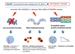 Figure: Overview of the proposed C9orf72-mediated toxicity mechanisms The expansion of intronic GGGGCC repeats in the C9orf72 gene from the normal less than 30 repeats to hundreds or thousands of GGGGCC repeats may lead to a loss of protein function,8 which normally is thought to regulate vesicular trafficking and autophagy because of its homology with the DENN-like superfamily.14-16 RNA-transcripts have been shown to form foci and quadruplex structures interacting with RNA- binding proteins and affecting transcription and RNA processing.17,18 Despite being intronic, the GGGGCC repeat expansion has been found to be translated in a mechanism called repeat-associated non-ATG (RAN) translation, to form characteristic neuronal inclusions,19 and to affect cell viability in vitro.20,21