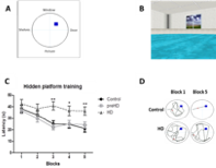 Figure. (A) Diagram of virtual reality arena showing platform location (blue square) within the circular pool and corresponding landmarks. (B) Screenshot of MWM task where subjects have to use a joystick to search for the submerged platform. (C) HD patients show impaired learning of the hidden platform compared controls and preHD. (D) Representative illustrations of the paths taken towards the hidden platform (blue square) demonstrating learning of the hidden platform location by controls and impairment of learning the platform location by HD patients.