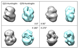 Figure. 3D EM maps of Q23 and Q78-huntingtin. 3D EM maps, reconstructed from negative stained Q23- (grey) and Q78- (cyan) huntingtin particles, are presented in different x-axis angles. The final resolutions are calculated at 33.5, and 32.0 Å, respectively.