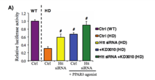 Figure A. Knockdown of Htt with siRNA improves PPAR transcriptional activity both with and without PPAR agonist in primary cortical neurons from wild type and BAC-HD mice.