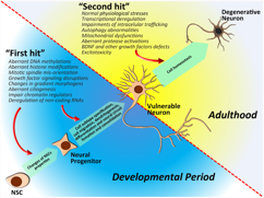 "Figure. The ""two-hit"" model of HD. The first ""hit"" consists of mHTT-associated impairments during developmental neurogenesis, leading to mature neurons with enhanced vulnerability to death. The second ""hit"" consists of physiological stressors and mHTT-associated deleterious effects during adulthood."
