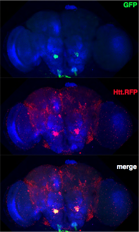 Figure. Expression of mHTT aggregates (red) using UAS-mRFP.Htt.138Q in a subset of gustatory receptor neurons. Gustatory neurons are targeted using the gr63a-Gal4 driver, and are labeled with GFP (green). In 24-day-old Drosophila flies, mHTT aggregates are seen throughout the brain, in a unique pattern far beyond the boundaries of the neurons in which they are expressed. Neuropil (blue) is marked by anti-bruchpilot.